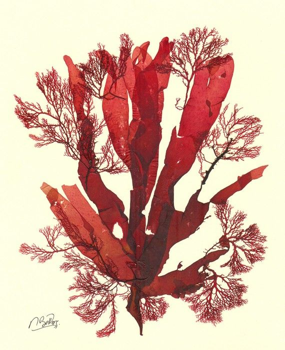 Algae clipart giant kelp.  best sensational seaweeds
