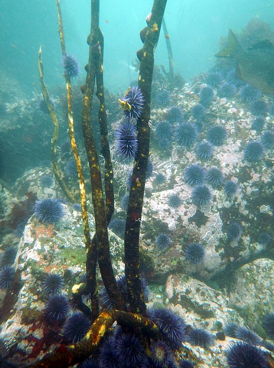 Algae clipart giant kelp. Perfect storm decimates northern