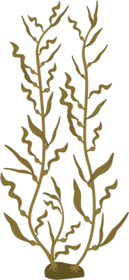 Macrocystis pyrifera illustration of. Algae clipart giant kelp