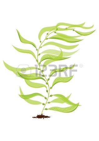 Algae clipart giant kelp. Or bladder macrocystis pyrifera