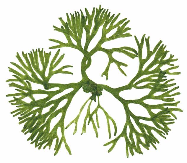 Algae clipart green algae. Free cliparts download clip