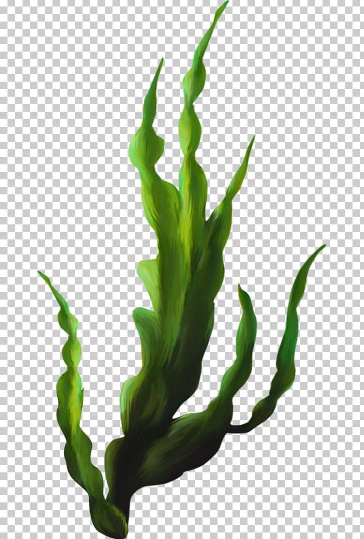 Seaweed png aquatic plants. Algae clipart kelp