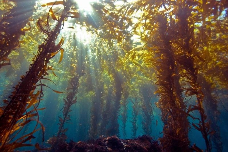 Cabrillo national monument u. Algae clipart kelp forest