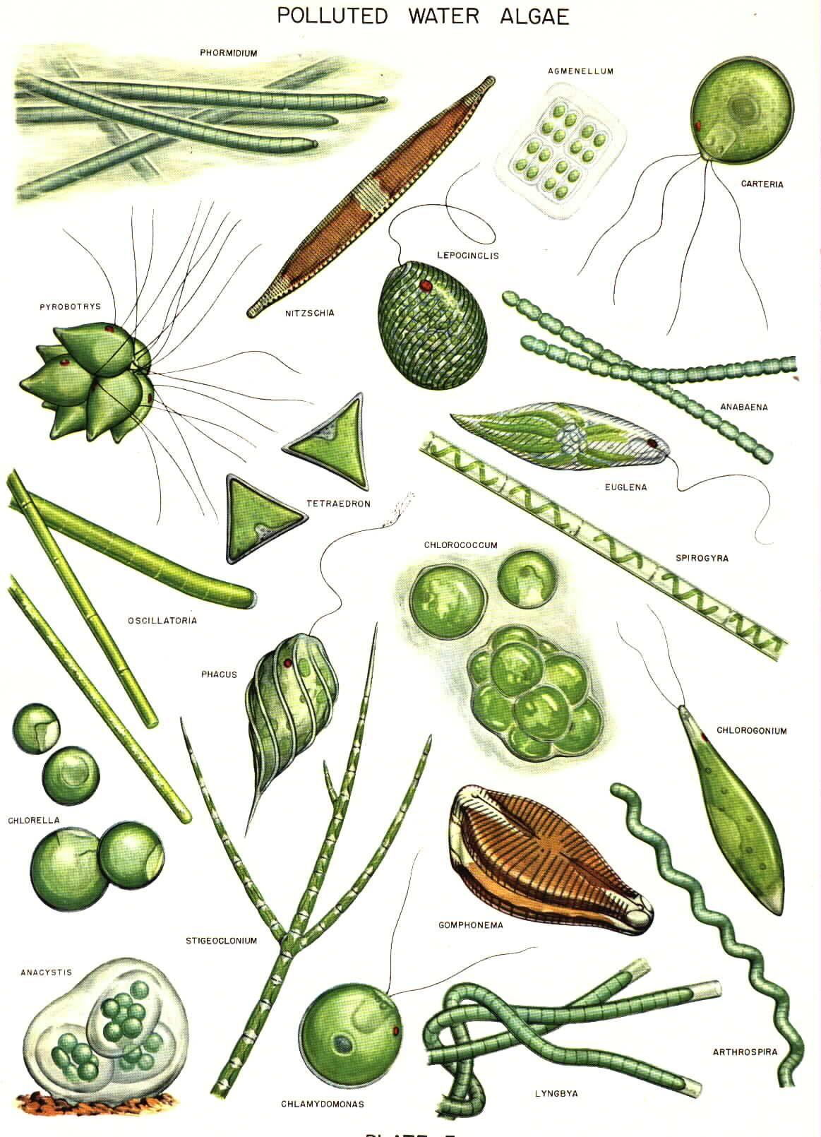 Green drawing at getdrawings. Algae clipart plankton