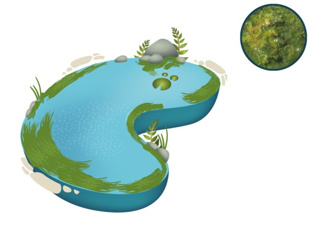 Algae clipart pond algae. Blanketweed control by nt