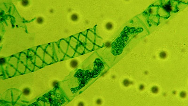 Algae clipart pond algae. Eyes on at fresh