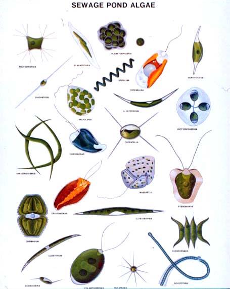 Freshwater ecology and fungi. Algae clipart pond algae