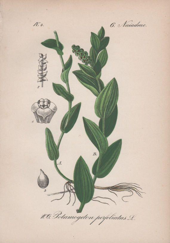 Algae clipart pondweed. Botanical print aquatic plant