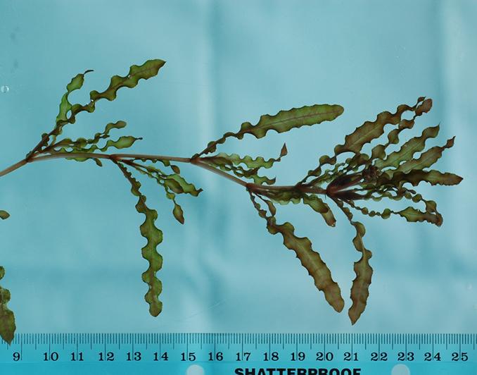Curly leaf wisconsin dnr. Algae clipart pondweed