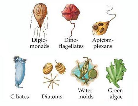 Algae clipart protist. Organisms plankton protista and