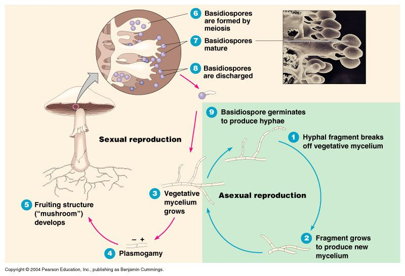 The eukaryotes fungi protozoa. Algae clipart protozoan