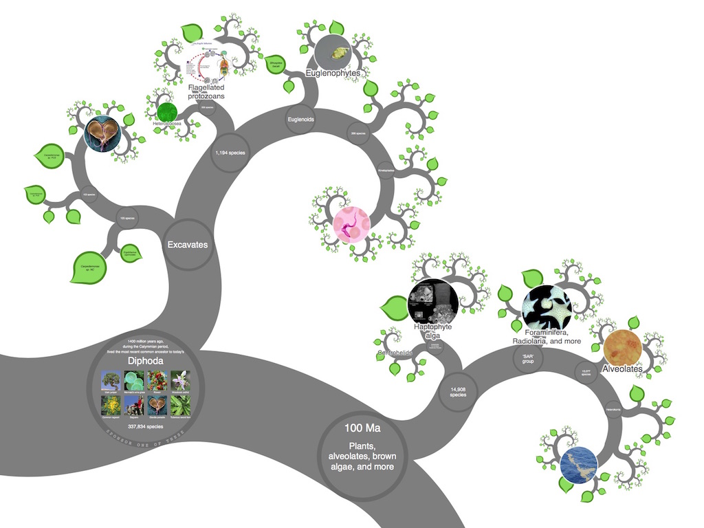Algae clipart protozoan. Onezoom tree of life