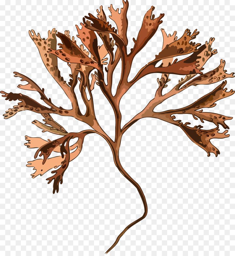 Irish moss plant mastocarpus. Algae clipart red algae