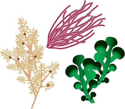 Plants clip art library. Algae clipart sea plant