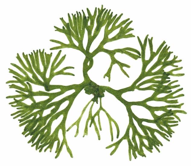 . Algae clipart seaweed