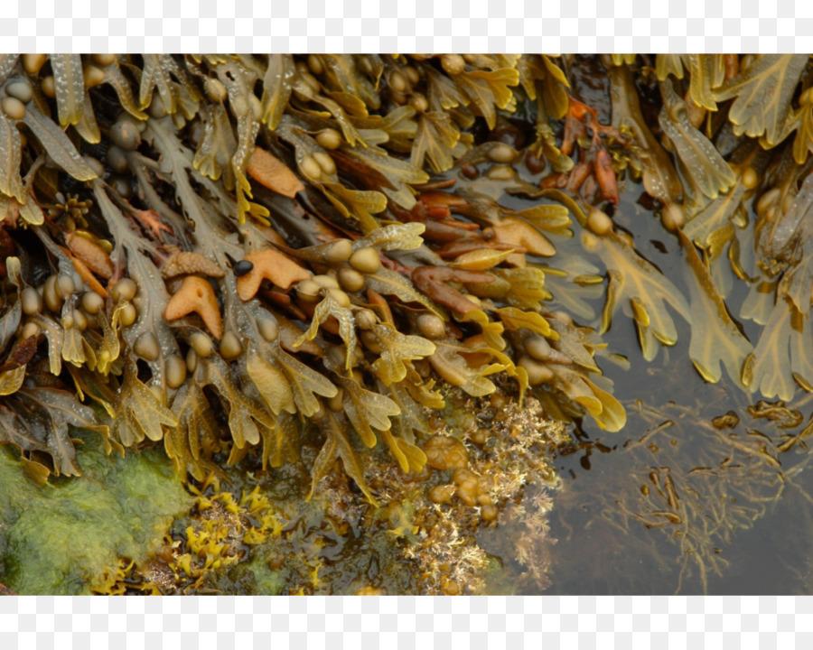 Bladder wrack ascophyllum nodosum. Algae clipart seaweed food