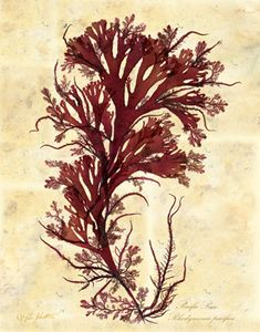 Algae clipart seaweed food. Original pressing marine botanical