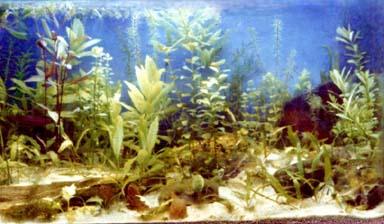 Algae clipart stone. Aquarium plant free pnglogocoloring