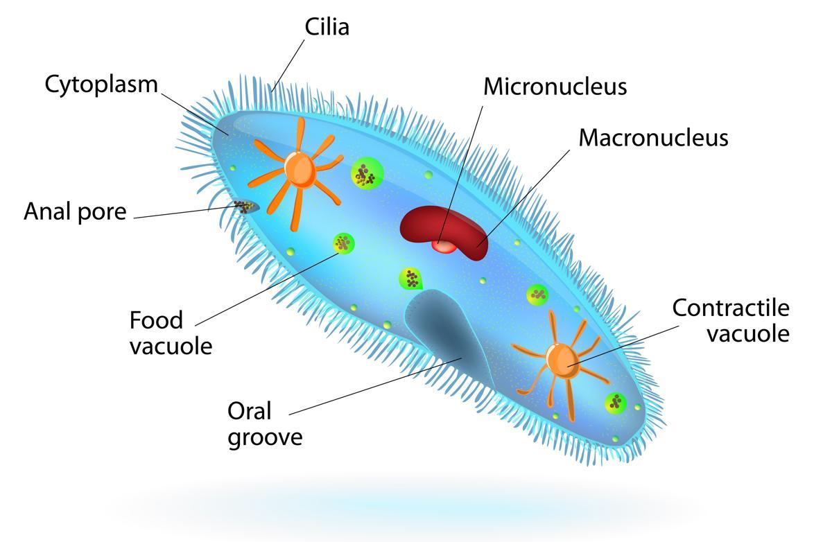 paramecium diagram jpg. Algae clipart unicellular organism