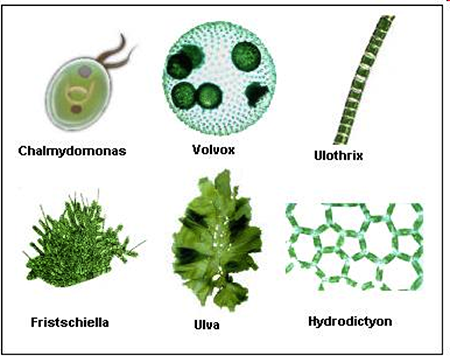 Algae clipart unicellular organism.  what are egee