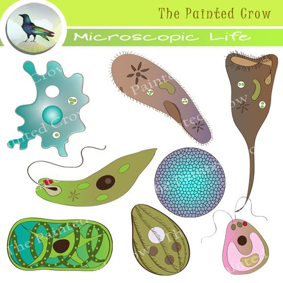 Microscopic organisms clip art. Algae clipart unicellular organism
