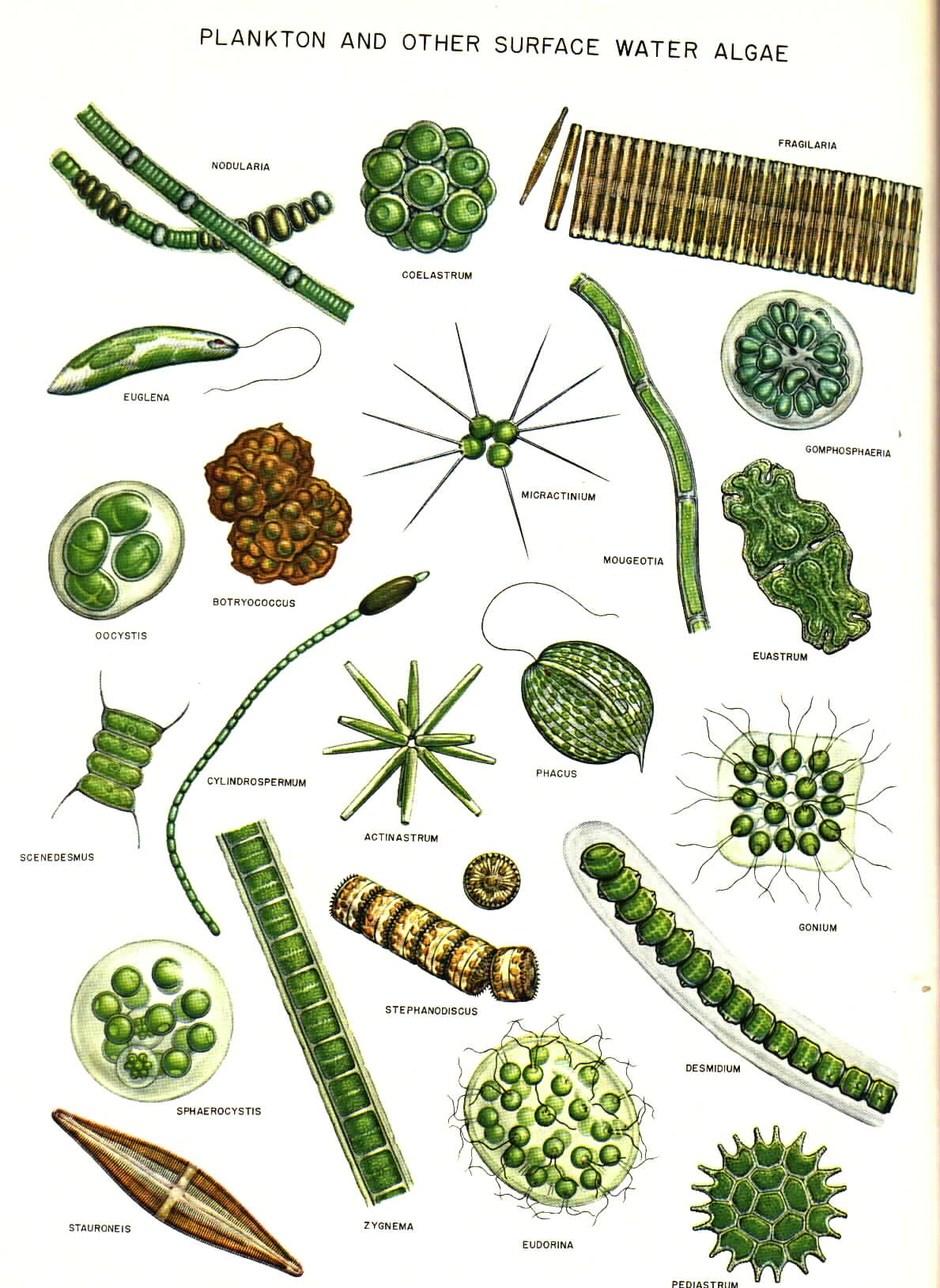 Algae clipart water plant. Green drawing at getdrawings