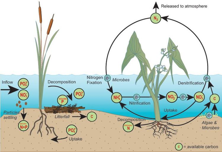 Nutrient removal the wetlands. Algae clipart wetland plant
