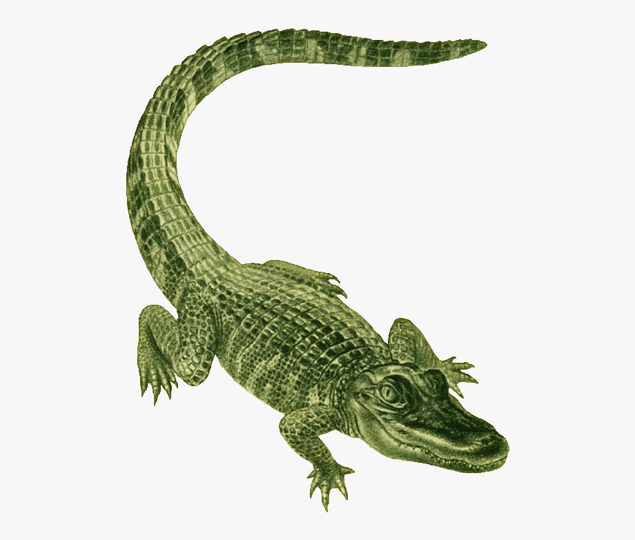 Clip art green cliparts. Alligator clipart american alligator