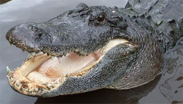 Alligator clipart american alligator. Free graphics animated alligators