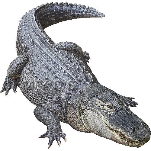 Cliparting com . Alligator clipart american alligator
