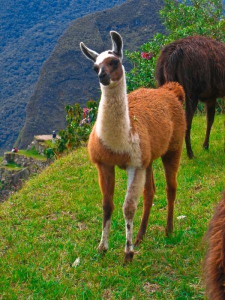 Alpaca clipart ancient inca.  best incas images