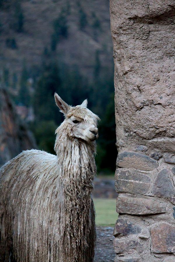 best llama vinca. Alpaca clipart ancient inca