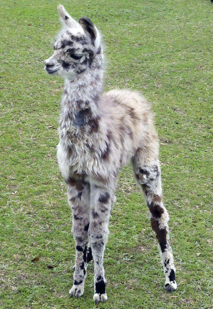 Llama saddles camels and. Alpaca clipart animal american