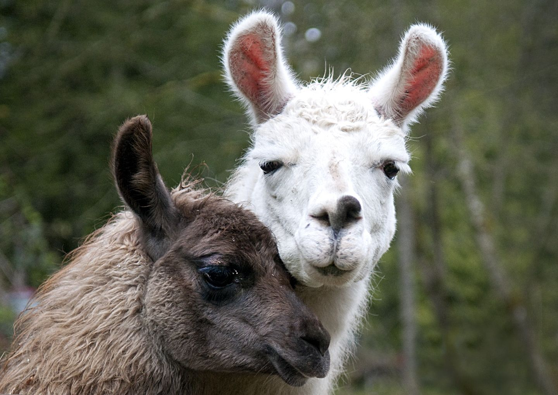 Llama wallpaper clipartix ilamas. Alpaca clipart animal american