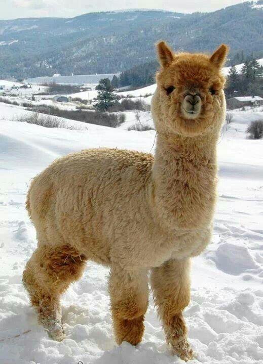 Alpaca clipart fluffy. Livestock pinterest alpacas animal