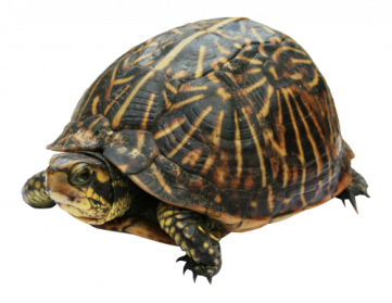 Animal clipart turtle. Png images transparent free
