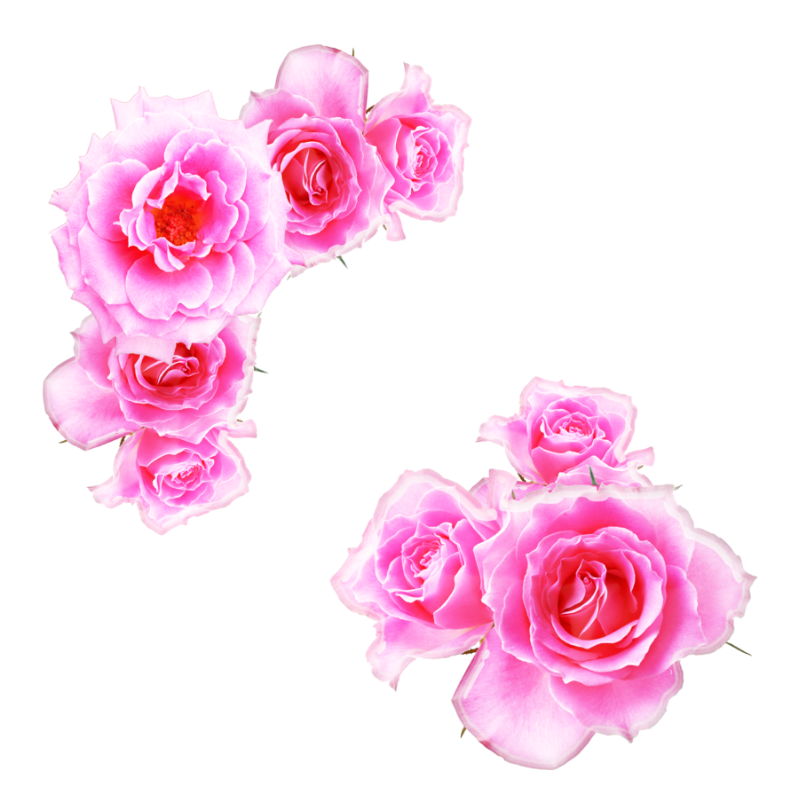 Anime flower png. Bright pink roses by