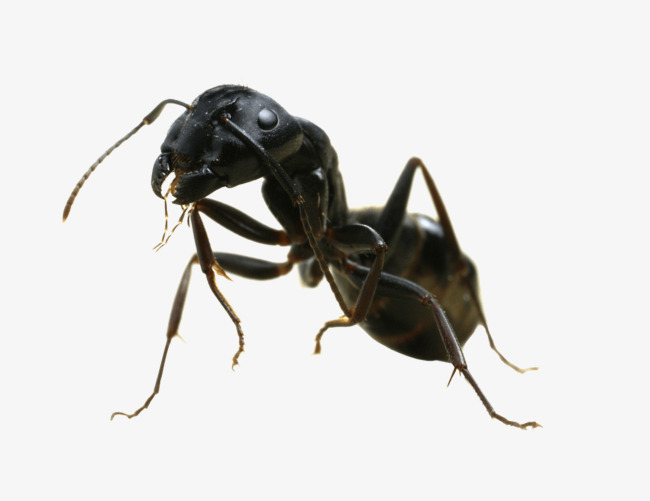 Ant clipart carpenter ant. A little insect material