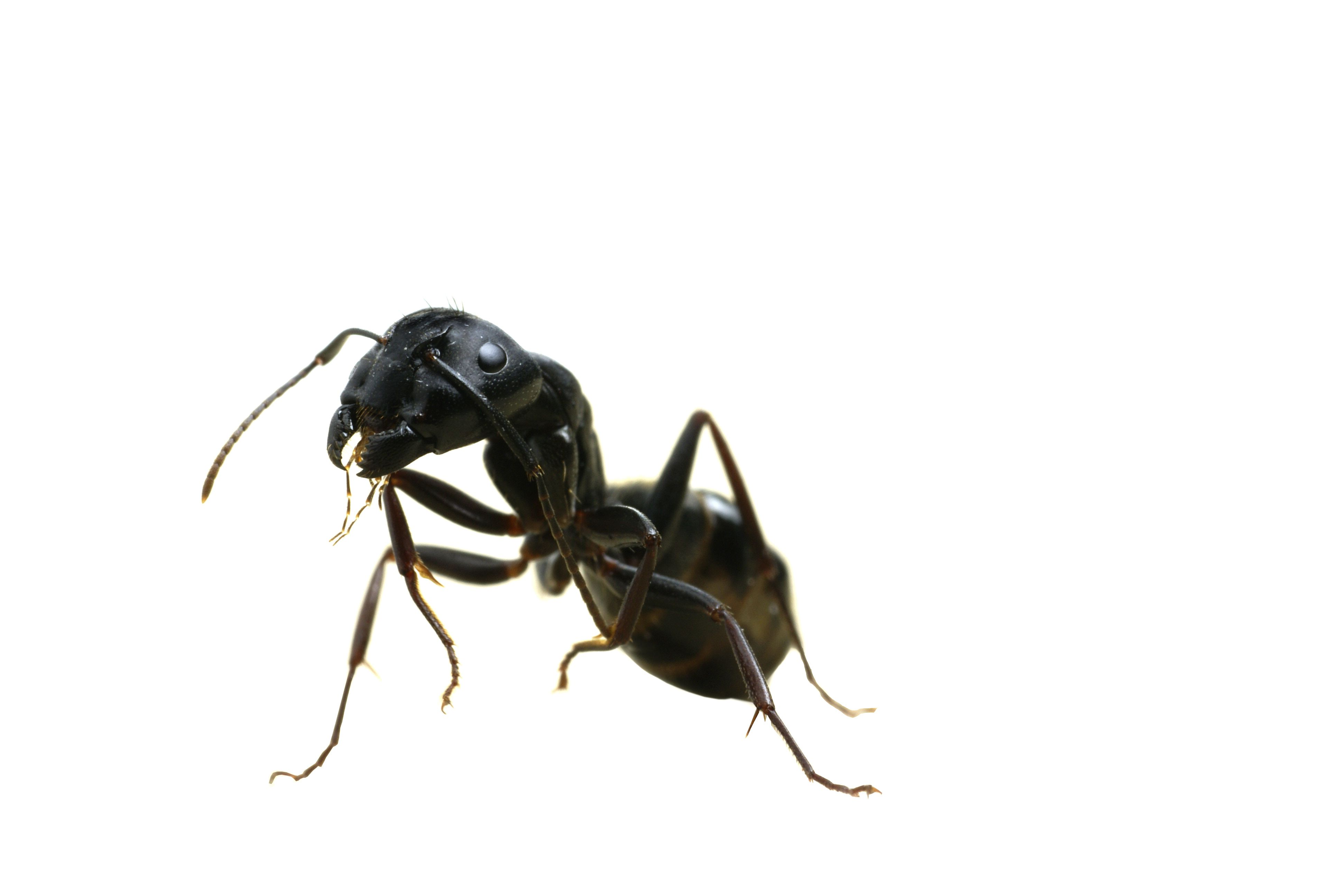 Ant clipart carpenter ant. Stage ants pinterest and