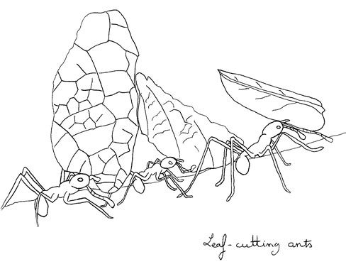 Ants coloring page open. Ant clipart leaf cutter ant