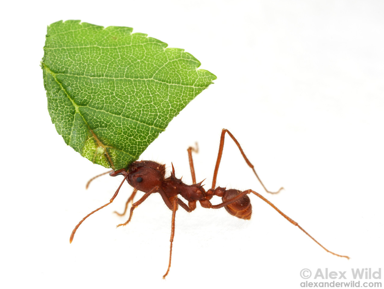 Ant clipart leaf cutter ant. Farming ants leafcutters and