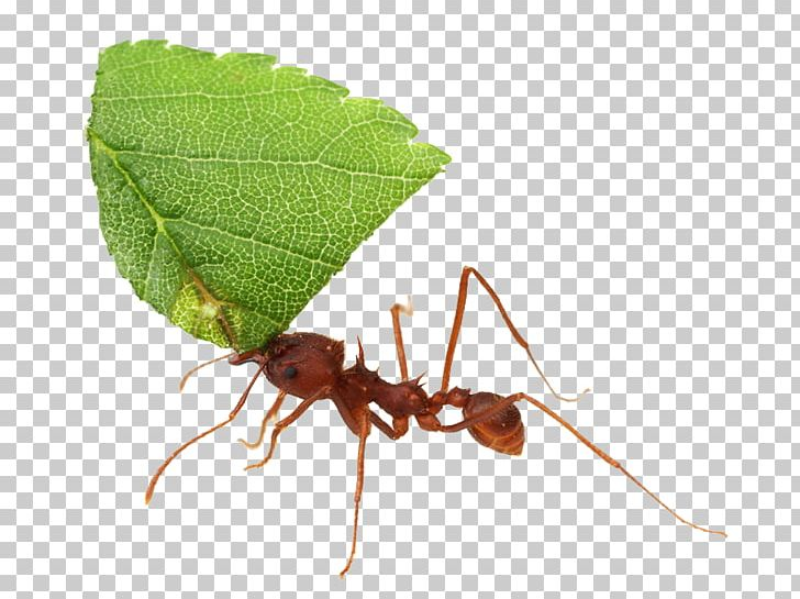 Ants clipart leaf cutter ant. Texas leafcutter acromyrmex atta