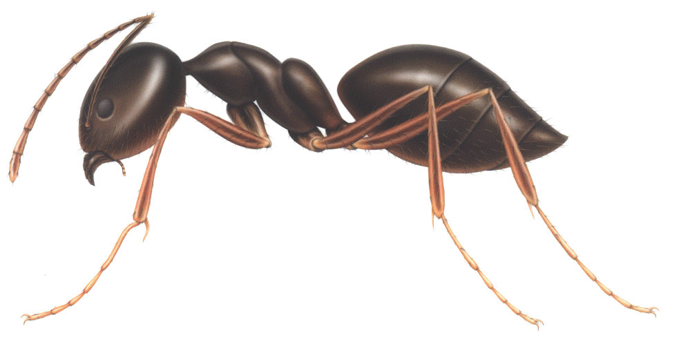 Ant png mart. Clipart house ants