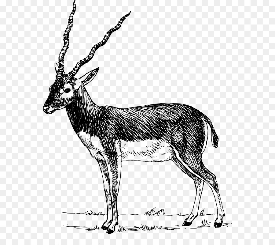 Antlers clipart gazelle. Antelope pronghorn impala clip