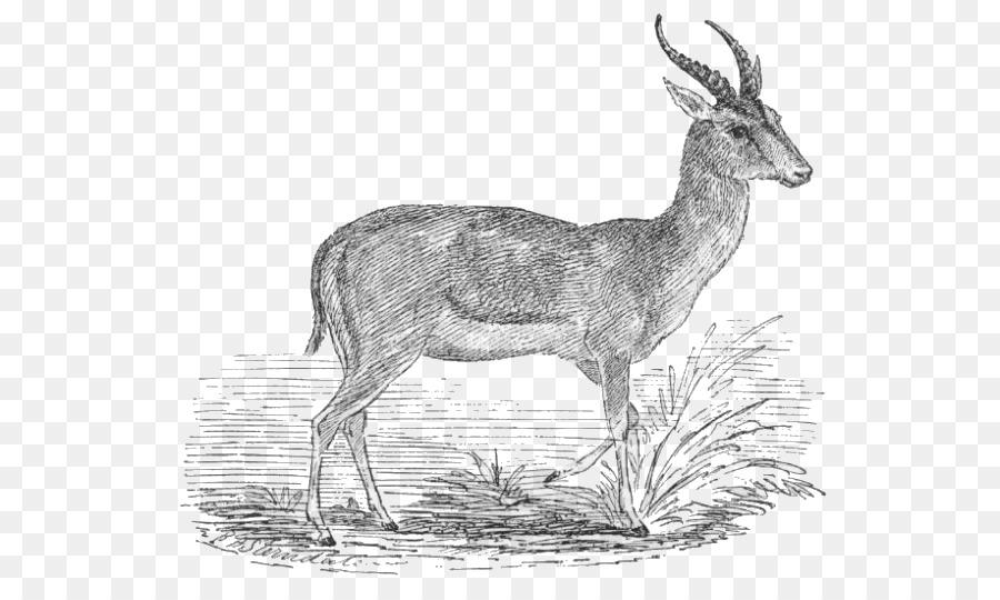 Antler clipart gazelle. Antelope goitered impala thomson