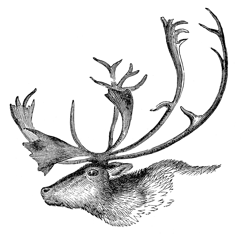 Antlers clipart vintage. Animal clip art caribou