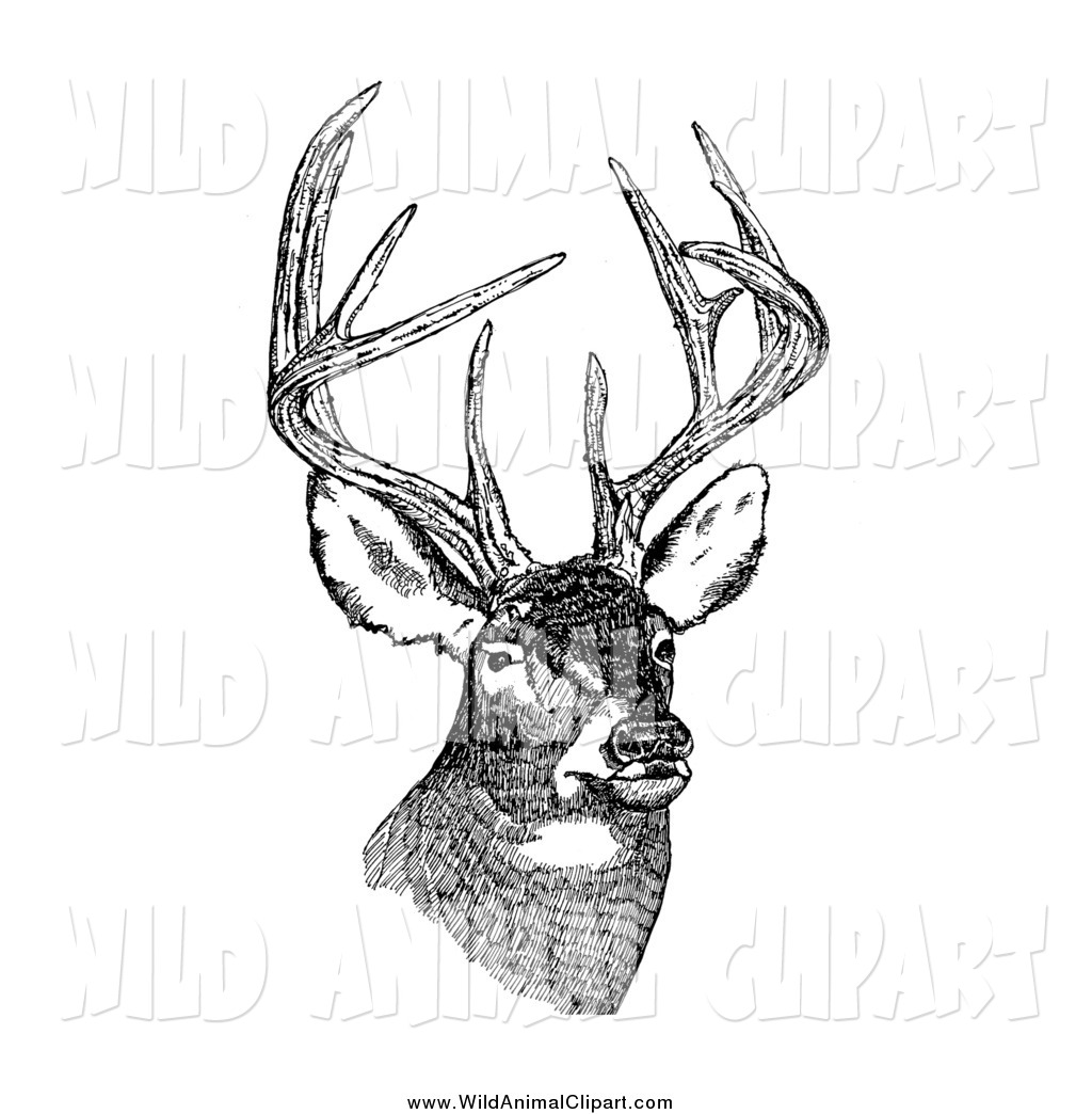 Clip art of a. Antlers clipart white tail