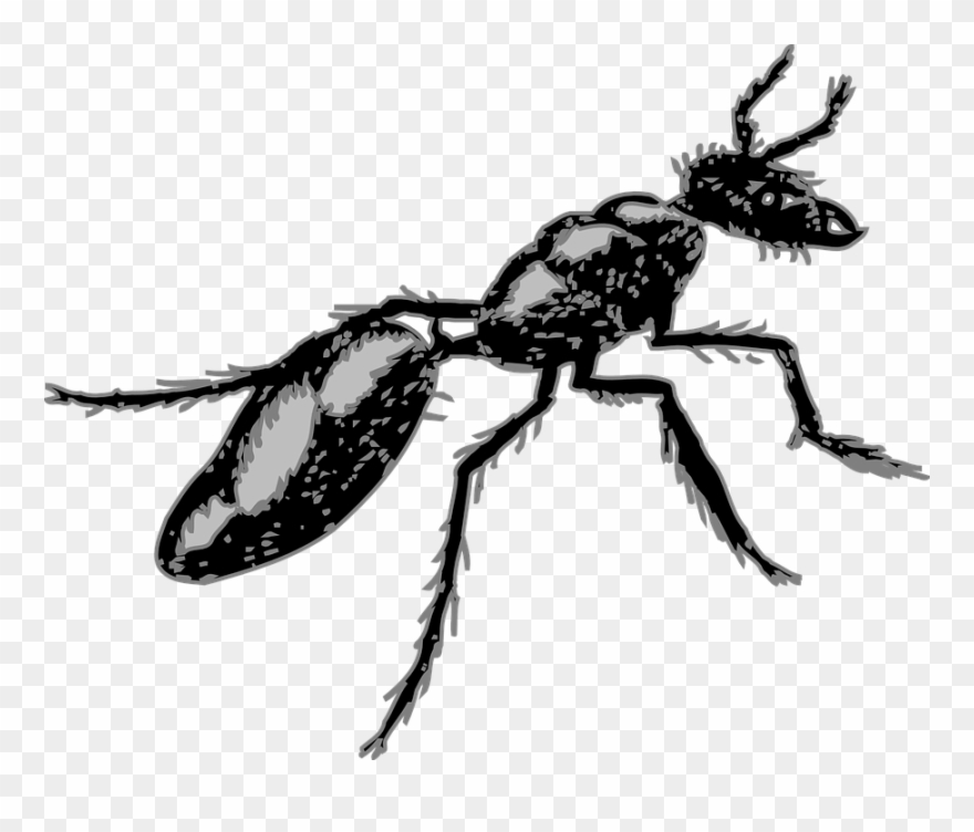 Legs ant segmented insect. Ants clipart body