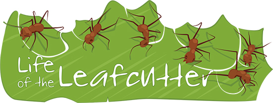 Leafcutter colonies ask a. Ants clipart leaf cutter ant
