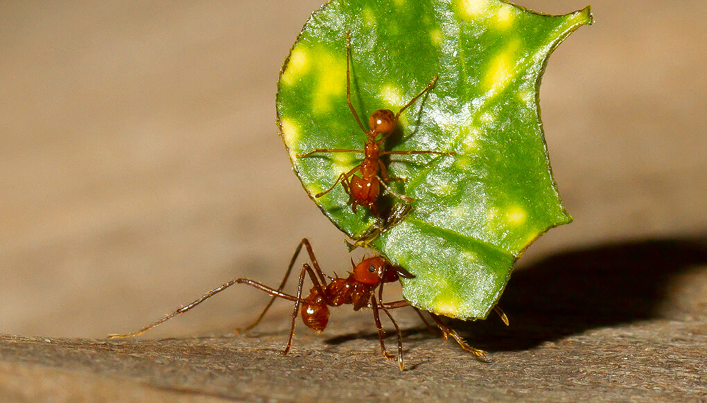 Leafcutter san diego zoo. Ants clipart leaf cutter ant